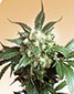 Black Domina - click to compare prices