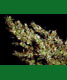Haze Heaven - click to compare prices