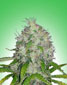 Master Kush - click to compare prices