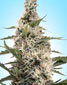 Swazi X Skunk - click to compare prices