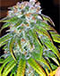Big Bud - click to compare prices