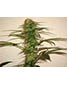 Homegrown Purple - click to compare prices