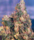 Original Flo - click to compare prices