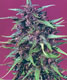 Purple Star - click to compare prices