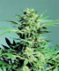 Shiva Skunk - click to compare prices
