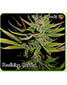 G13 Haze X Reclining Buddha - click to compare prices