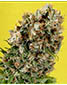 G13 Haze X Somativa - click to compare prices