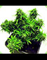 Lowryder Automatic Dwarf Mix 20 Seeds - click to compare prices