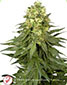 White Widow Feminised - click to compare prices