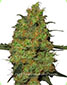 Master Kush Regular - click to compare prices