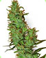 White Label Jack Herer Regular - click to compare prices