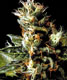 White Widow - click to compare prices